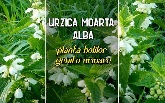 Urzica moarta alba - planta bolilor genito-urinare