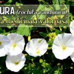 Volbura o planta medicinala valoroasa