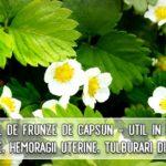 Ceaiul de frunze de capsun - util in infectii urinare, hemoragii uterine, tulburari digestive