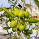 Ceaiul din frunze de maslin combate infectiile, bolile cardiovasculare, cancerele