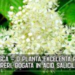Cretusca - o planta excelenta pentru dureri, bogata în acid salicilic