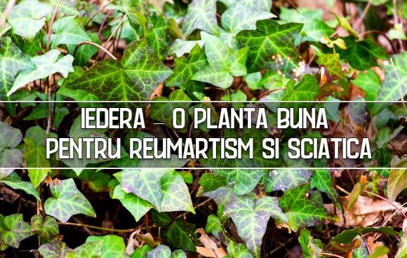 Iedera – o planta buna pentru durerile reumatice si sciatice