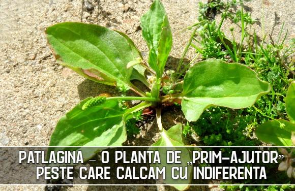 "Patlagina – o planta de ""prim-ajutor"" peste care calcam cu indiferenta"
