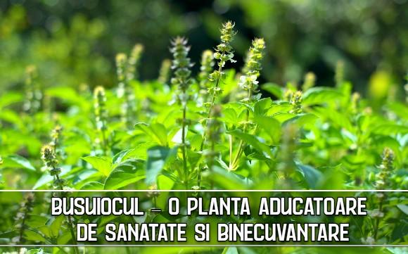 Busuiocul – o planta aducatoare de sanatate si binecuvântare