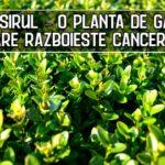 Cimsirul – o planta de gard care razboieste cancerul