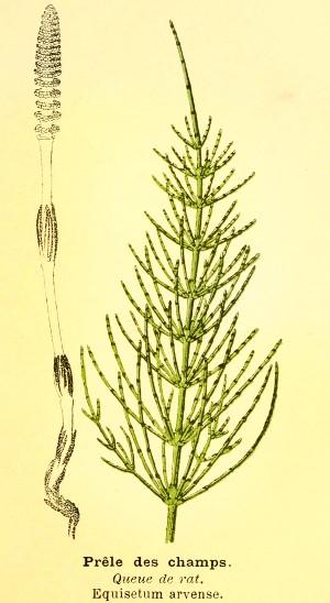 Coada calului (Equisetum arvense)