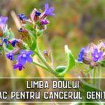 Limba boului - leac pentru cancerul genital