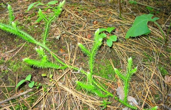 Pedicuta - Lycopodium clavatum