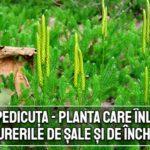 Pedicuta - planta care inlatura durerile de sale si incheieturi