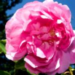 Trandafir - proprietati si beneficii