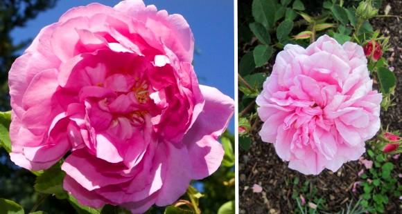 Trandafirul de dulceata
