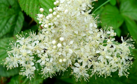 Floare de coltul lupului