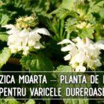 Urzica moarta – planta de leac pentru varicele dureroase