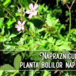 Napraznicul - planta bolilor napraznice