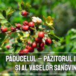 Paducelul – pazitorul inimii si al vaselor sangvine