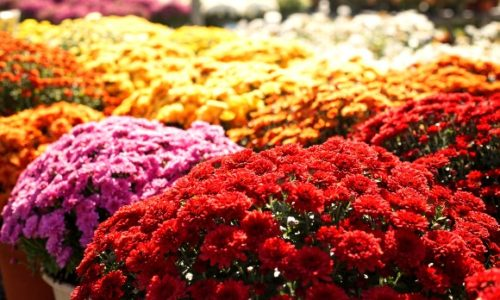 Crizantema - floare vindecatoare in medicina chineza