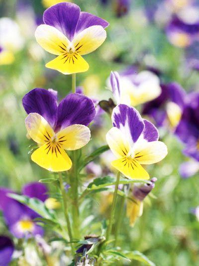 trei-frati-patati-viola-tricolor