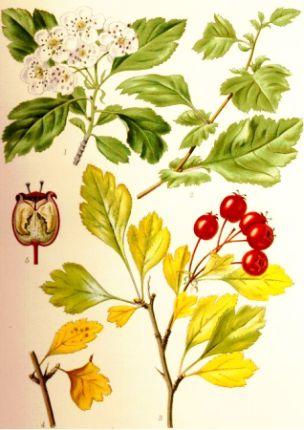 Păducel (Crataegus monogyna)