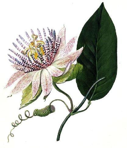 Tratamente Naturiste pe Bază de Floarea Pasiunii