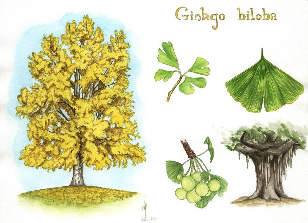 Ginkgo Biloba – Arborele Care Salvează Milioane de Vieţi