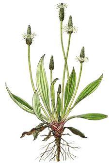 Pătlagina – O Plantă De Leac Străveche