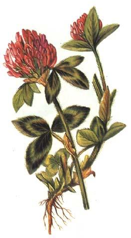Trifoiul Roşu – O Plantă Dedicată Femeilor