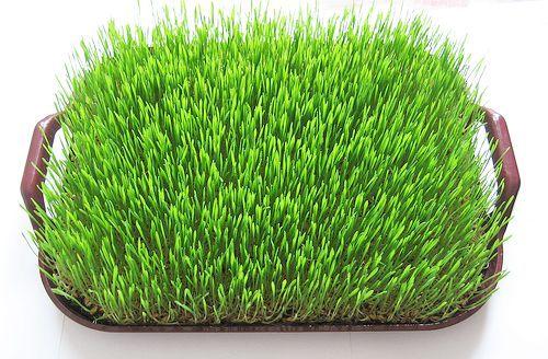 iarba de grau | sanatateadincolodemarketing Viziune rețetă iarbă de grâu