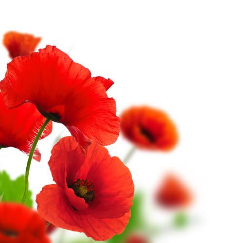 Flori Vindecătoare: Macul de Câmp