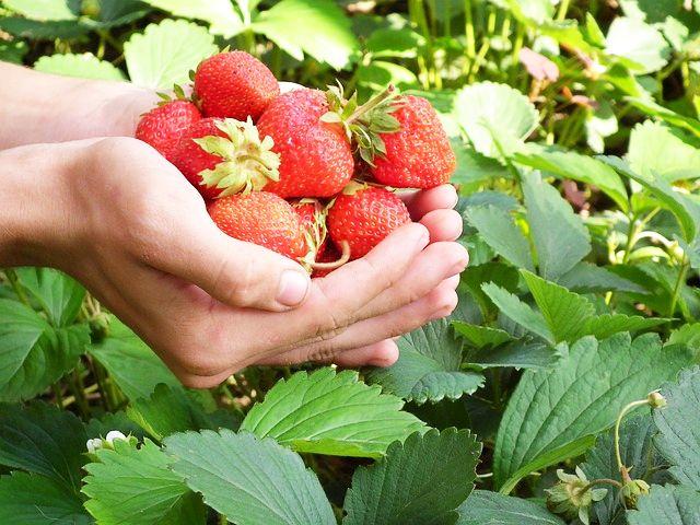 Căpșuni Pentru Ten