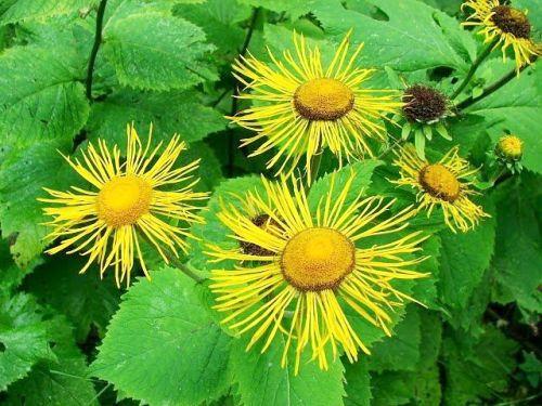Iarba Mare – Planta Bolilor Ginecologice