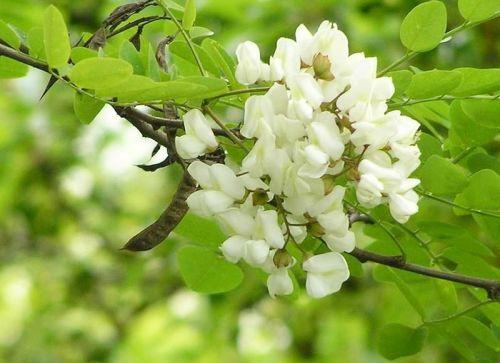 Florile de Salcâm: Proprietăţi şi Tratamente