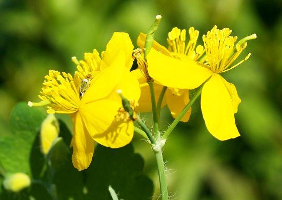 Rostopasca (Chelidonium majus L.)