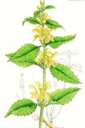 Urzica-moartă galbenă (Lamium galeobdolon)