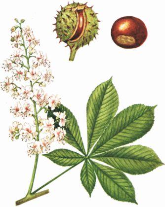 Castan Sălbatic (Aesculus hippocastanum)