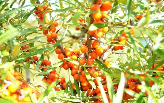 fructe de catina