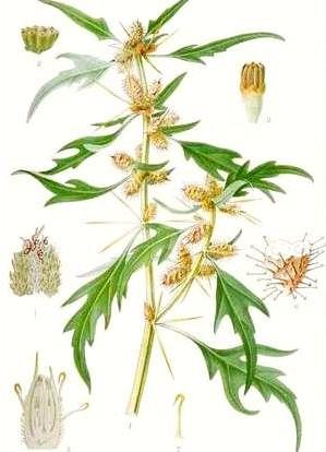 Ghimpe (Xanthium spinosum)