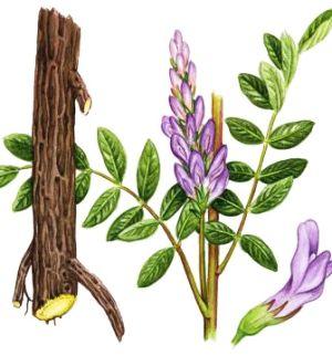 Lemn-dulce (Glycyrrhiza glabra)