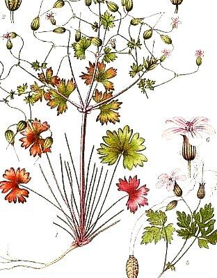 napraznic-Geranium-robertianum-400x400