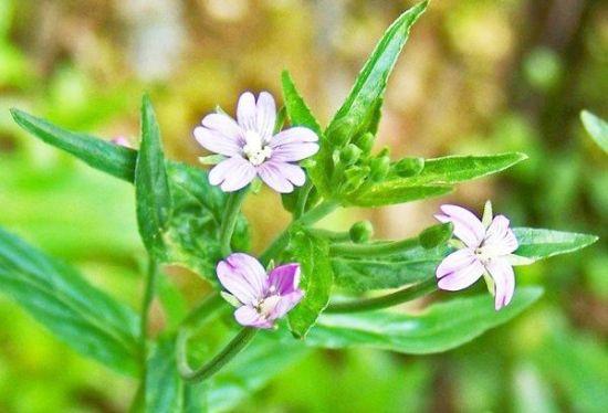pufulita cu flori mici tinctura, ceai, pulbere