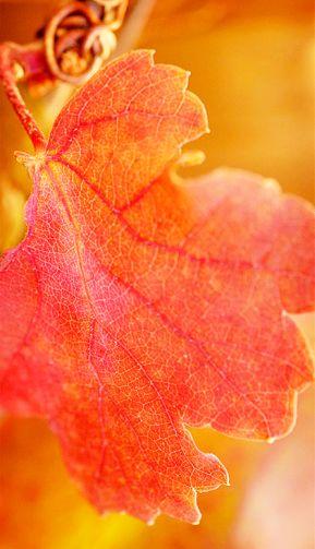 red-vine-leaf