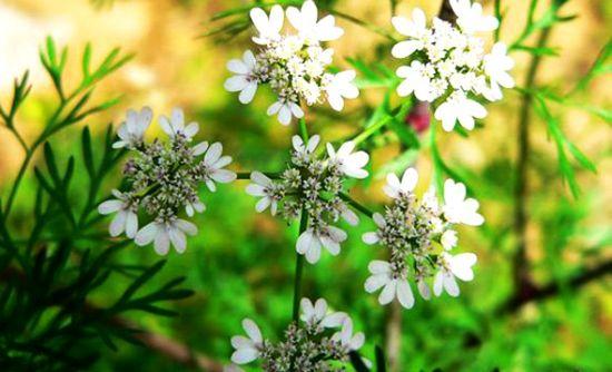 Coriandru (Coriandrum sativum)