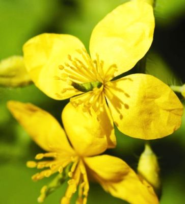 Rostopasca (Celidonium majus)