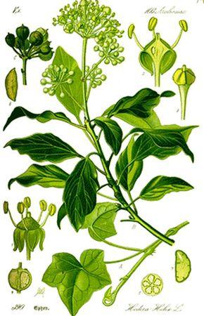 Frunze de Iederă (Hedrix )