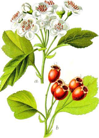 Păducelul (Crataegus oxyacantha)
