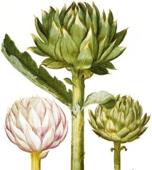Anghinare (Cynara Scolynmis.L.)