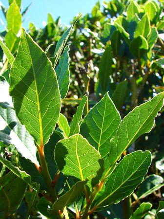 Frunze de Dafin (Laurus nobilis)