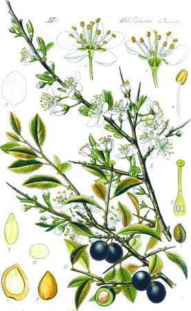 Porumbele (Primus spinosa L.)