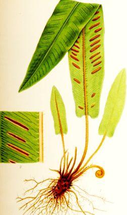 Limba cerbului (Phyllitis scolopendrium)