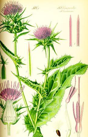 Semințe de Armurariu (Silybum marianum)