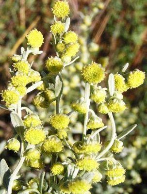 Pelin Alb (Artemisia absinthium)